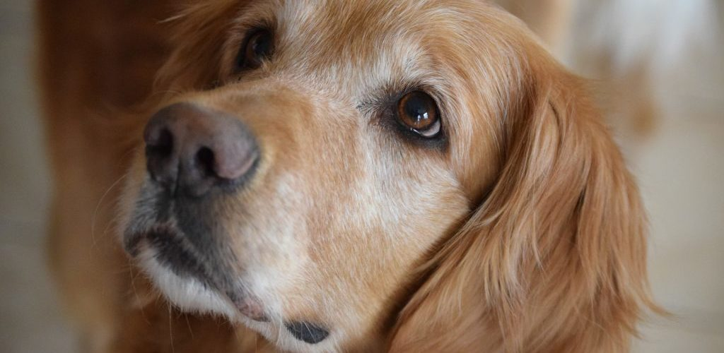 Which Dog Breed is Right for Your Family