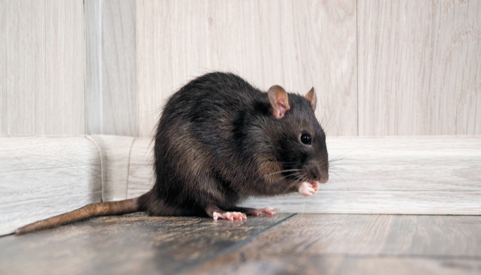 Pest Control: How to Manage Rodents